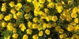 Portulaca Cupcake Yellow Chrome